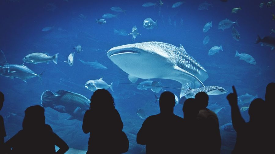 Silhouette Fish Aquarium Animal Themes Indoors  Sea Large Group Of Animals Sea Life Horizontal Swimming Multi Colored Water Underwater UnderSea People Nature Whale Shark Day Whale Whaleshark Animals In The Wild Animal Wildlife IPhoneography Iphoneonly Iphonephotography