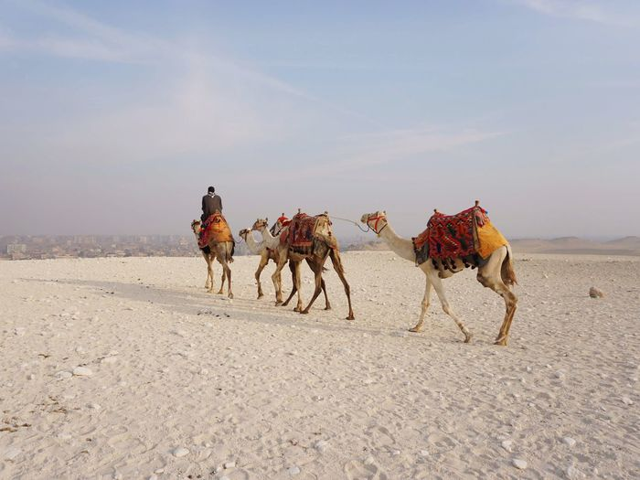 How many camels
