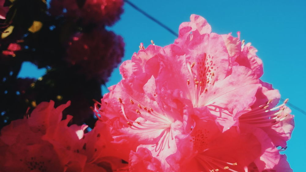 Rhododendron Rhododendroninbloom Rose Tree Pink Plant Flowers Contrasting Colors Close Up Close Up Flower