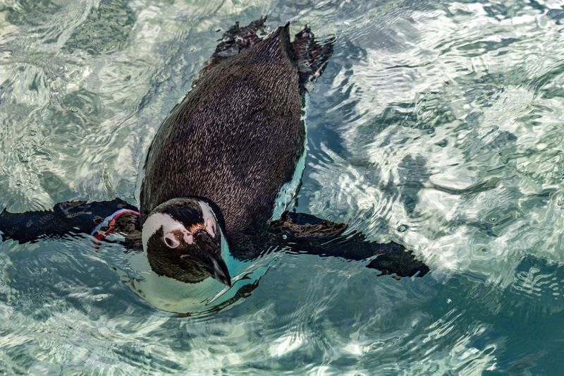 High Angle View Of Penguin Swimming In Pond