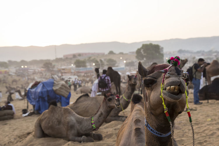 snap shot of camel in camal field in Pushkar, India Camel Day Domestic Animals Focus On Foreground India Indianstories Indiapictures Livestock Mammal Nature Outdoors Pushkar Rajasthan Rural Scene Sky Snap Snapshot