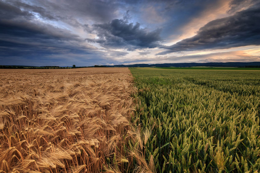 Zwei Felder Storm Agriculture Barley Beauty In Nature Cereal Plant Cloud - Sky Cornfield Crop  Environment Field Food Growth Horizon Horizon Over Land Land Landscape Nature No People Outdoors Plant Rural Scene Scenics - Nature Sky Storm Cloud Summer