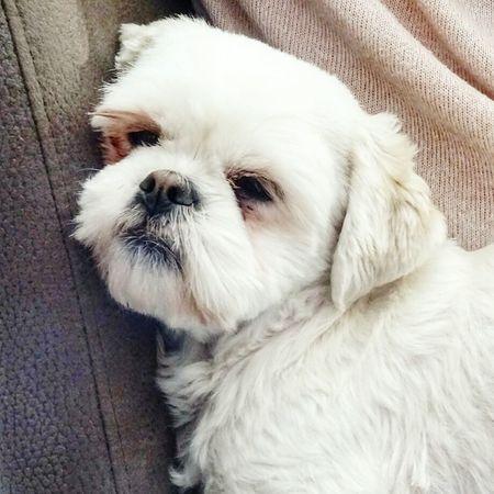 Emma Portrait Sitting Lying Down Puppy Animal Hair Close-up Shih Tzu