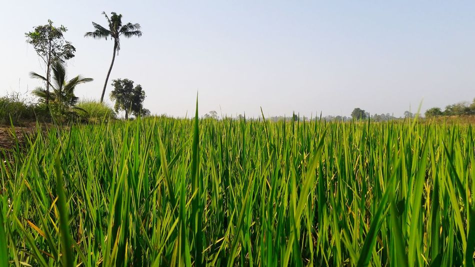 Rice Field Rice Field Rice Tree Cereal Plant Rural Scene Clear Sky Agriculture Field Crop  Sky Green Color Rice - Cereal Plant Rice Paddy