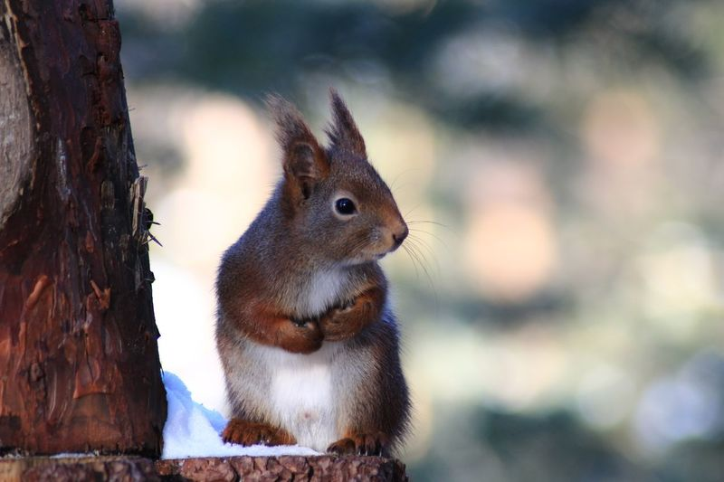 Animal Themes Focus On Foreground Animals In The Wild Squirrel One Animal No People Outdoors Mammal Nature Day Animal Wildlife Close-up Tree