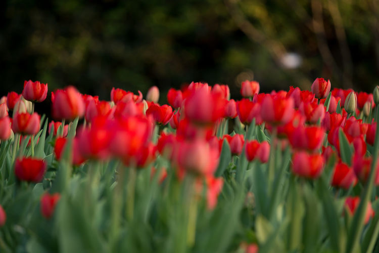 Red tulips in a