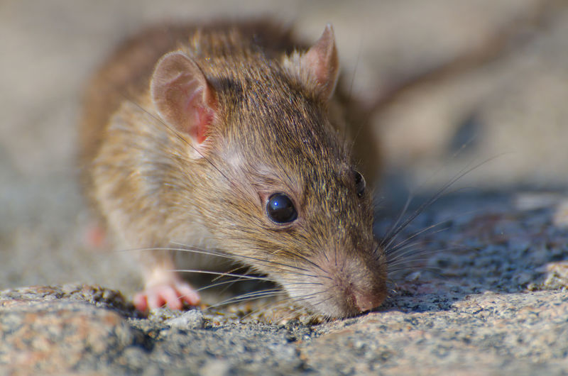 Wild Rat Animal Themes Animal Wildlife Animals In The Wild Close-up Color Cute Day Focus On Foreground Front View Full Frame Headshot Low Angle View Macro Mammal Mouse Nature No People One Animal Outdoors Rat Rodent Sunny