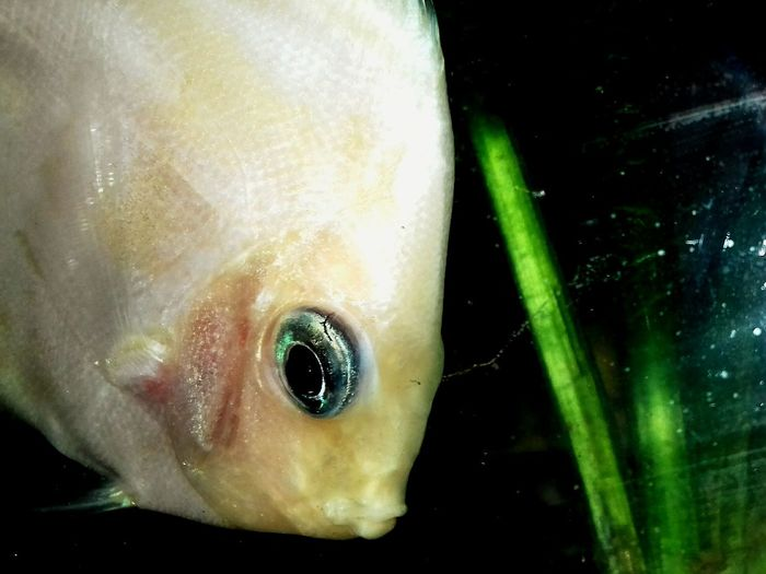 Fisheye Fish Discusfish Close-up Sea Life No People Daytime Photography EyeEmBestPics Eyeemphotography Mobilephotography Junagadh_Gujrat_India
