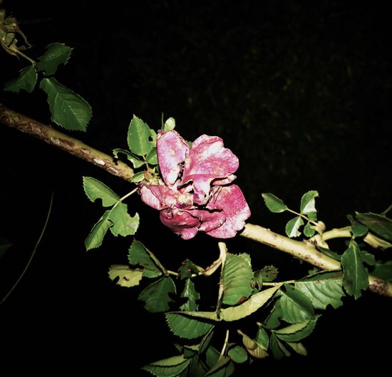 WhyDoWeHaveToDie. Flower Leaf Nature Outdoors Night Black Background Flower Head Roses
