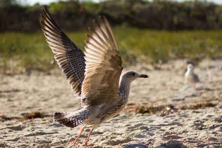 Seagull Flapping Wings On Sand During Sunny Day