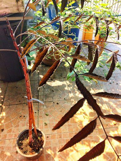 Black Neem Neemtree Tree No People Shadow Sunlight Indoors  Day Hanging Close-up Nature