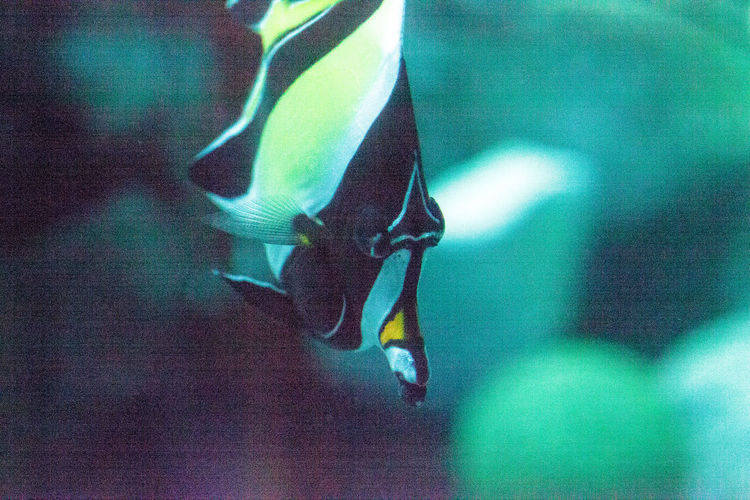 Yellow and black Moorish idol fish Zanclus cornutus swims over a coral reef in the Indo-Pacific. Moorish Idol Zanclus Cornutus Animal Themes Animal Wildlife Animals In The Wild Black And White Close-up Coral Reef Day Fish Marine Fish Marine Life Nature No People Ocean One Animal Striped Yellow