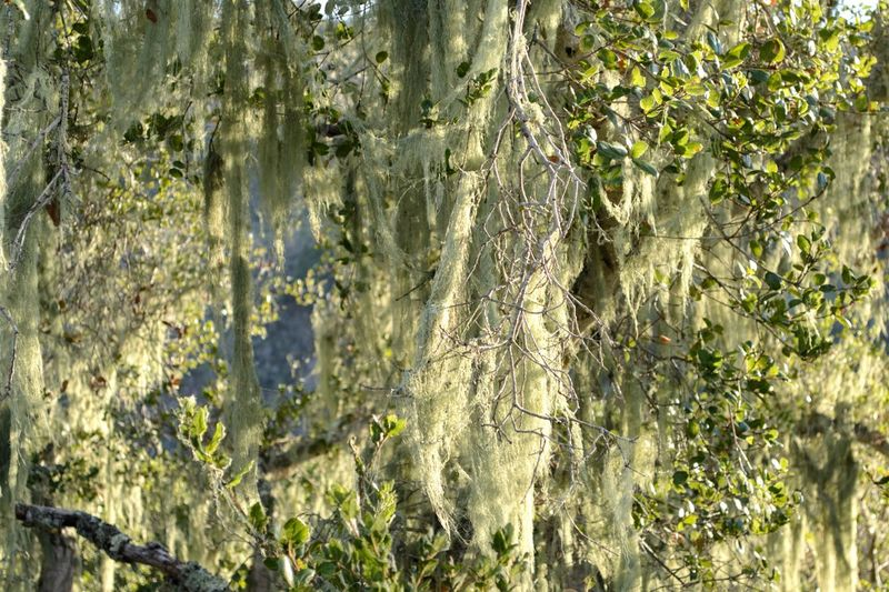 Moss & Lichen Grandfathers Beard Spanish Moss Tree Spanish Moss Plant Growth Tree Nature No People Day Full Frame Sunlight Green Color Beauty In Nature Tranquility Outdoors Forest Backgrounds Non-urban Scene Scenics - Nature Close-up