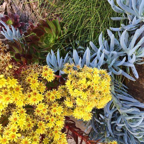 Aeonium Senecio Succulents Flowering Succulents Casuarina ICE PLANT