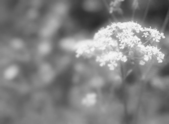 Just a wild chervil... and it touch my heart... Flowers Blackandwhite Love In My Garden