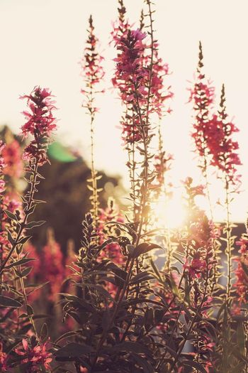 Flowers at sunset Nature Sunlight Growth Lens Flare Sun Plant No People Outdoors Beauty In Nature Tranquility Flower Scenics Freshness Sky Close-up First Eyeem Photo The Great Outdoors - 2017 EyeEm Awards