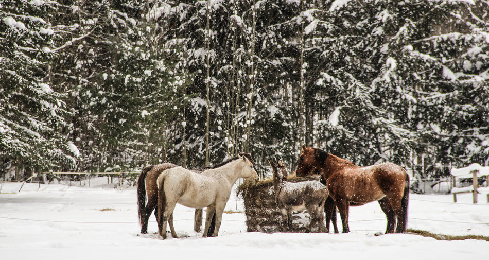 Horses standing on snow covered field