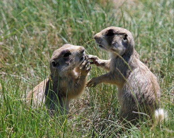 Prairie Dogs Playing Babies Cute