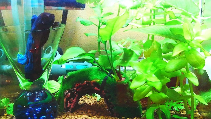 my lovely bettafish Betta Splendens Betta Fish Bettafishcommunity Green Color No People Day Nature Water Outdoors Close-up Freshness