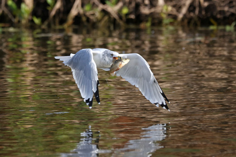 Bird With Fish Flying Over River