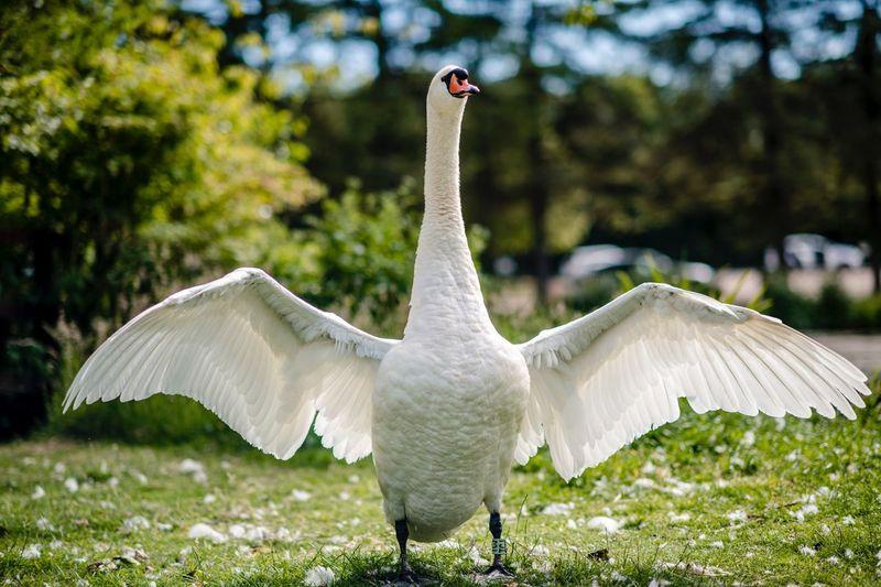 Swan EyeEm