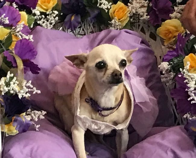 Dog Looking At Camera One Animal Pets Portrait Flower Domestic Animals Purple Pet Clothing Animal Themes Mammal No People Indoors  Sadies bridal shower today Fund Raiser Today For The Love of Paws in Fellsmere Florida 🇺🇸 The Week On EyeEm
