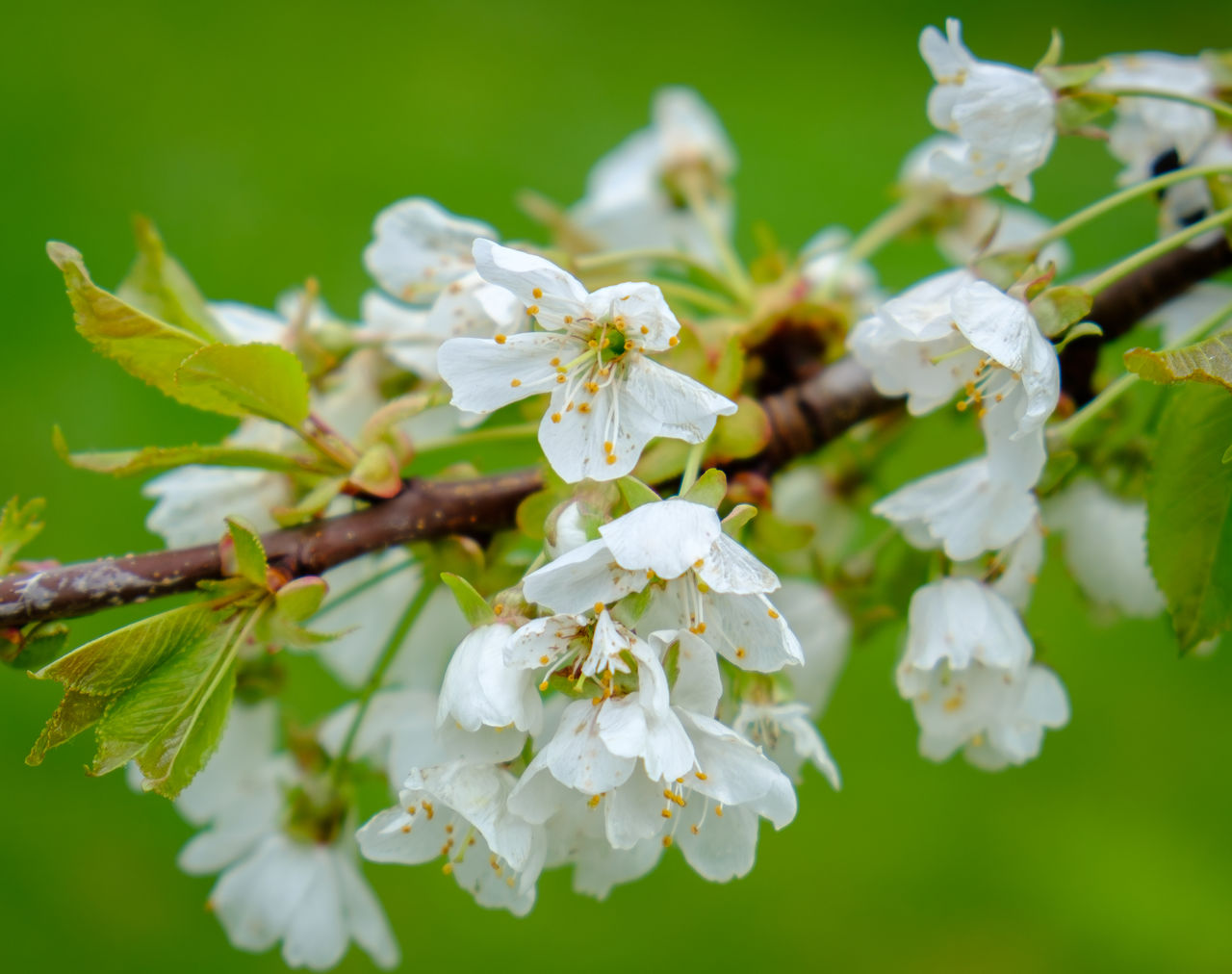 flower, white color, fragility, beauty in nature, nature, freshness, blossom, petal, growth, apple blossom, botany, no people, springtime, flower head, day, outdoors, tree, green color, branch, close-up, blooming
