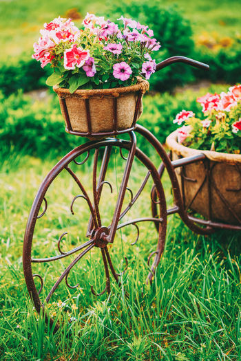 Decorative Vintage Model Old Bicycle Equipped Basket Flowers Garden. Toned Photo. Flower Bed Basket Beautiful Bicycle Bike Blossom Bright Colorful Day Decoration Decorative Flora Floral Flower Flower-bed Garden Garden Design Grass Green Herbs Model Nature Park Petunia Plant Purple Red Retro Spring STAND Summer Toned Vintage