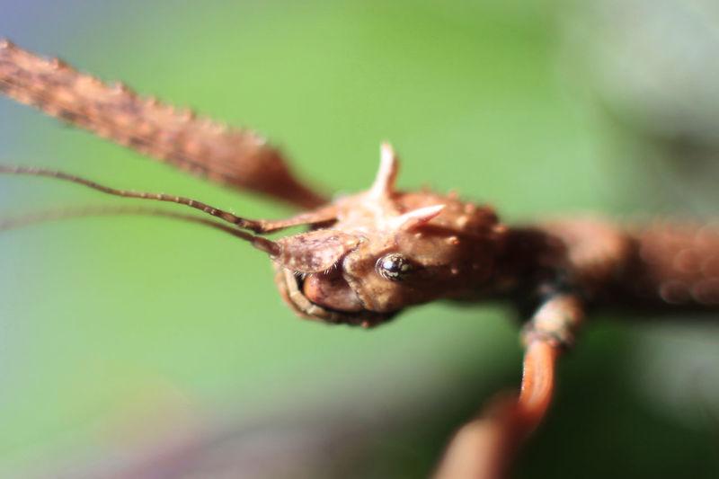 Beautiful Bugs Life Green Insects  Stick Stick- Stick-bug Stick-o