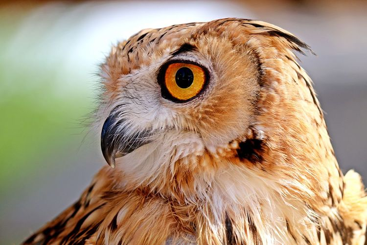 eagle owl Desert Owl Eagle Owl  Nature Animal Animal Head  Animal Themes Animal Wildlife Animals In The Wild Beak Bird Bird Of Prey Close-up Day Desert Eagle Owl Feather  Focus On Foreground Looking At Camera Nature No People One Animal Outdoors Owl Portrait