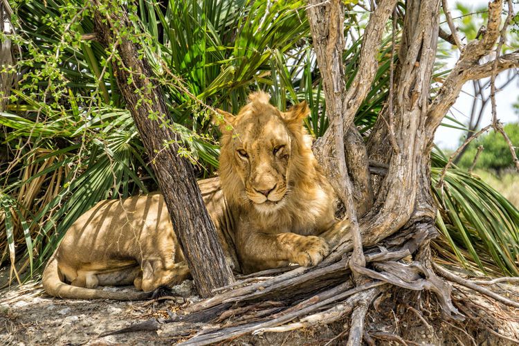 Lion in Selous National Park Animals In The Wild Animal Themes Animal Wildlife Mammal Tree Animal Feline Lion - Feline Plant Cat Vertebrate No People Day Nature Group Of Animals Young Animal Carnivora Two Animals Sitting Outdoors Lioness Animal Family Lion Tanzania National Park Selous