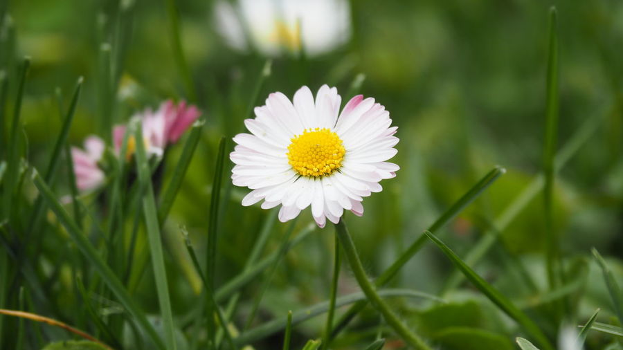 Spring flowers Flower Flowering Plant Plant Freshness Growth Fragility Vulnerability  Beauty In Nature Petal Flower Head Close-up Inflorescence Yellow Nature White Color Daisy Focus On Foreground Day Green Color Selective Focus No People Outdoors Pollen Blade Of Grass