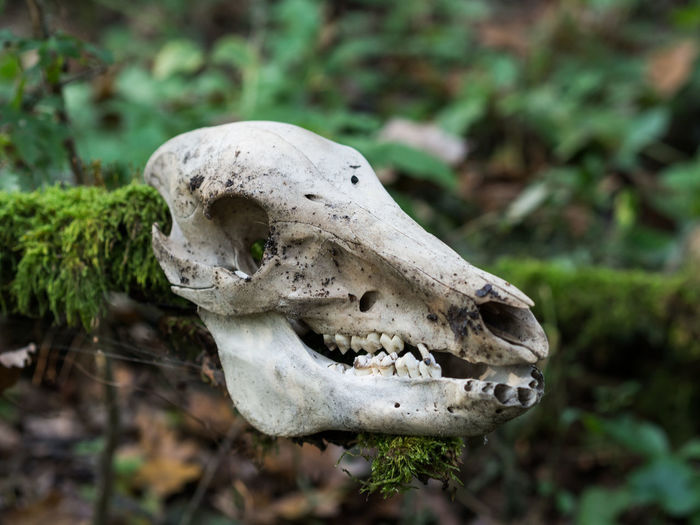 Close-up of deer skull in forest