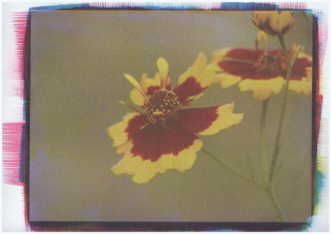 claret gum print Multi Colored Yellow Close-up Gum Print Alternative Photography Plant Flower