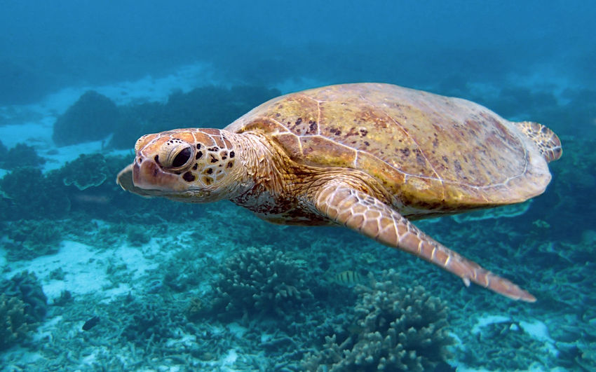 Queensland Australia Lady Elliot Island Great Barrier Reef Green Sea Turtle Turtle Animal Themes Animal Water One Animal Animals In The Wild Underwater Sea Life Marine Nature Sea Turtle Swimming No People Turquoise Colored Endangered Species Floating