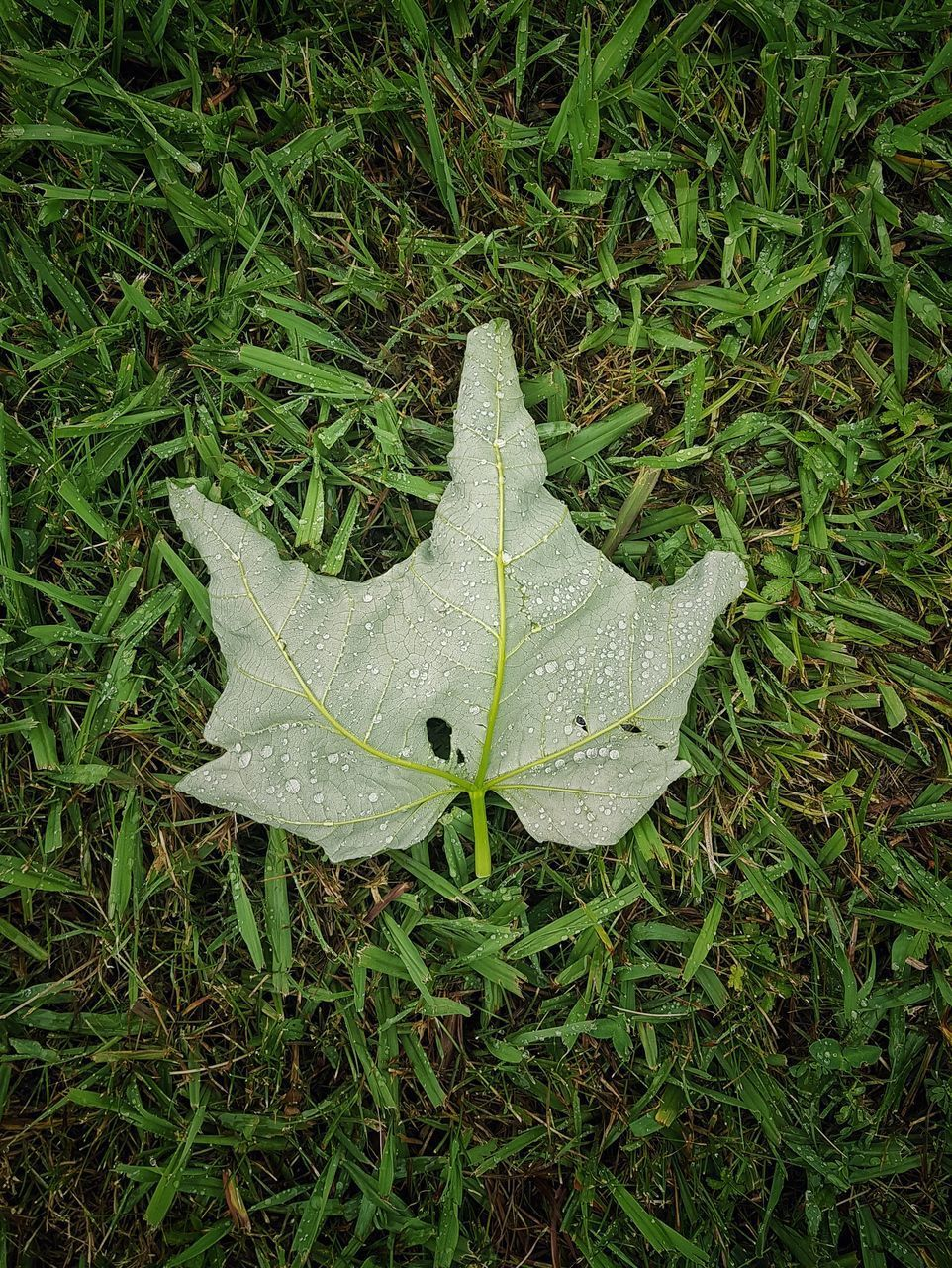 HIGH ANGLE VIEW OF WET LEAF ON GRASS