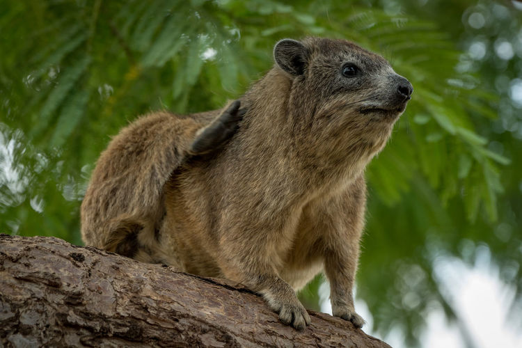 Cape Hyrax Nature Tanzania Travel Africa Animal Animal Wildlife Animals In The Wild Brown Day Focus On Foreground Hair Hyrax Looking Looking Away Low Angle View Mammal Nature No People One Animal Outdoors Plant Rock Hyrax Safari Tree Vertebrate Wildlife