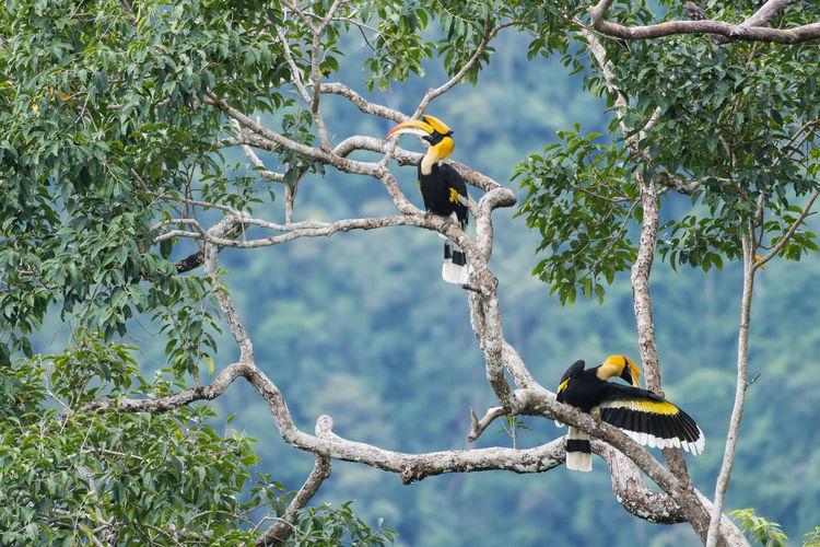 hornbill couple