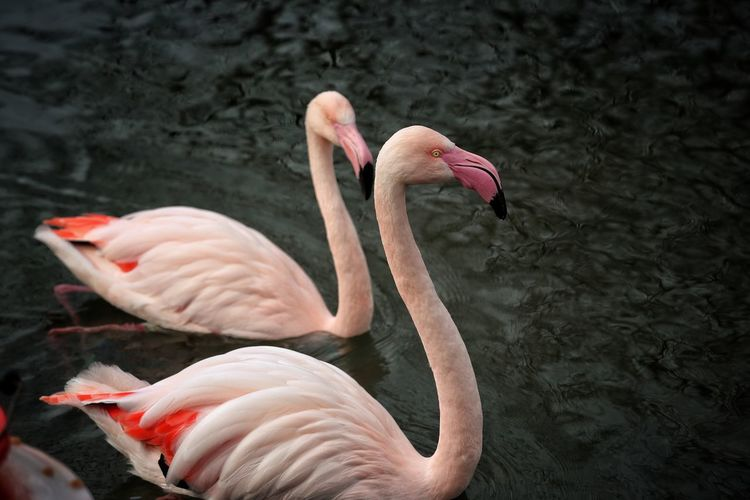 Animal Themes Animal Wildlife Animals In The Wild Bird Birdland Bourton On The Water Cheltenham Day Flamingo Lake Nature No People Outdoors Swan Water