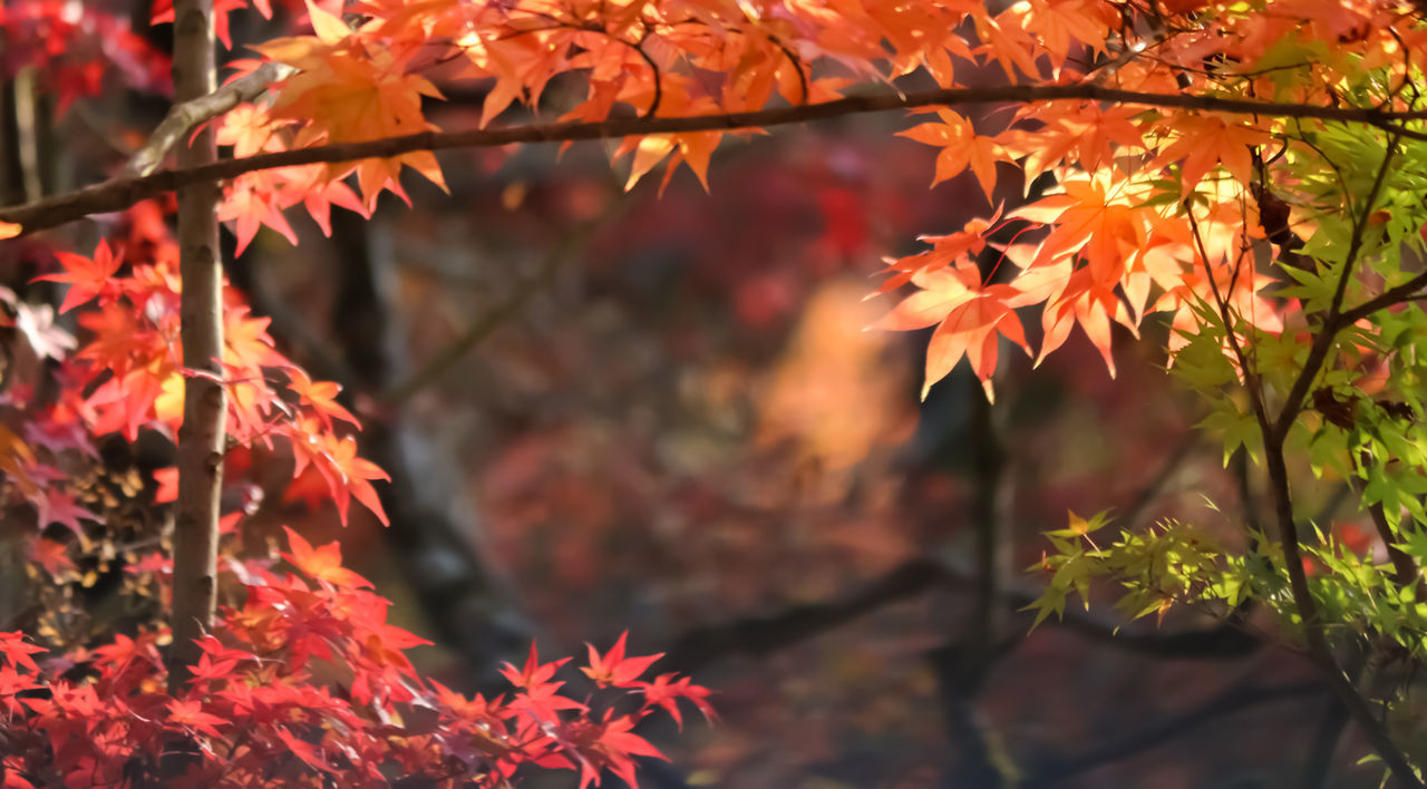 autumn, leaf, change, orange color, maple leaf, nature, outdoors, beauty in nature, tree, maple tree, focus on foreground, no people, day, maple, close-up, tranquility, branch, scenics, growth