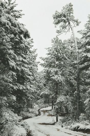 invierno en el Pinar Navaleno Landscape Paisaje Landscape_photography Canon Nature Photography Nature Soria Pine Tree Photography EyEmNewHere Road Forest Forest Photography Forestwalk Beauty In Nature No People Snow Winter Tree Outdoors Tranquility Weather Cold Temperature Growth