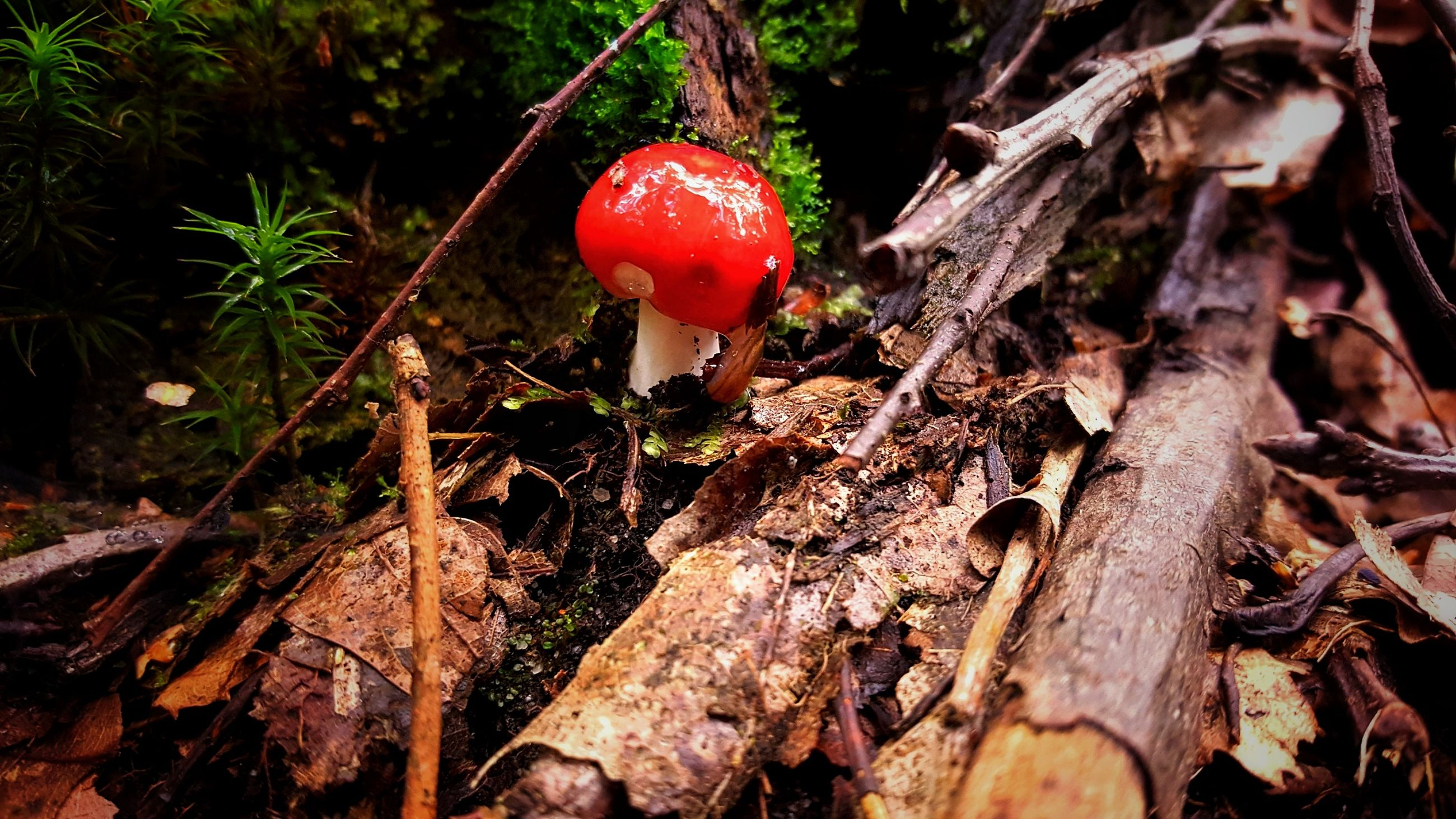 red, nature, growth, tree, sunlight, close-up, no people, leaf, outdoors, forest, day, beauty in nature, fly agaric mushroom