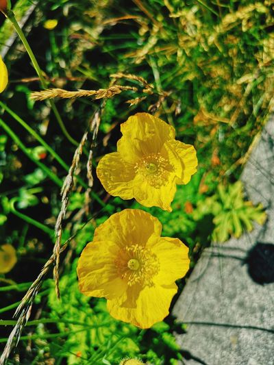 yellow poppies Poppy Poppy Flowers Yellow Flower Yellow Yellow Poppy Flower Head Flower Leaf Yellow Close-up Plant Green Color Plant Life In Bloom Blooming Botany Fragility Petal