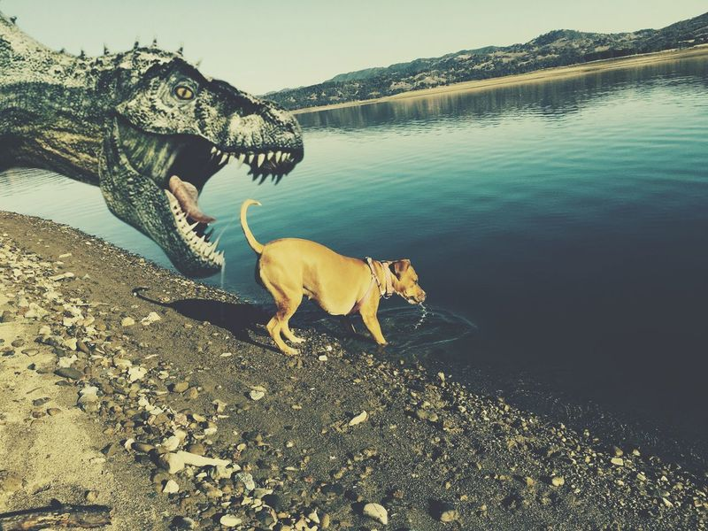 Watch Out , Mr Dinosaur she is a Pit Bull IPhoneography 2016 Low Water Level Timing Action TRex  Dinosaur Dino Mans Best Friend Companion Pet Pit Bull Love Pit Bull Lover & Supporter Highway 29 Adopt Rescue A Shelter Pet I Love My Pit Bull Water My Unique Style My Dog Dogs Of EyeEm Dog Love Dog Day Afternoon Doglife Dog Northern California Norcal California Redwood Valley Lake Mendocino The Innovator