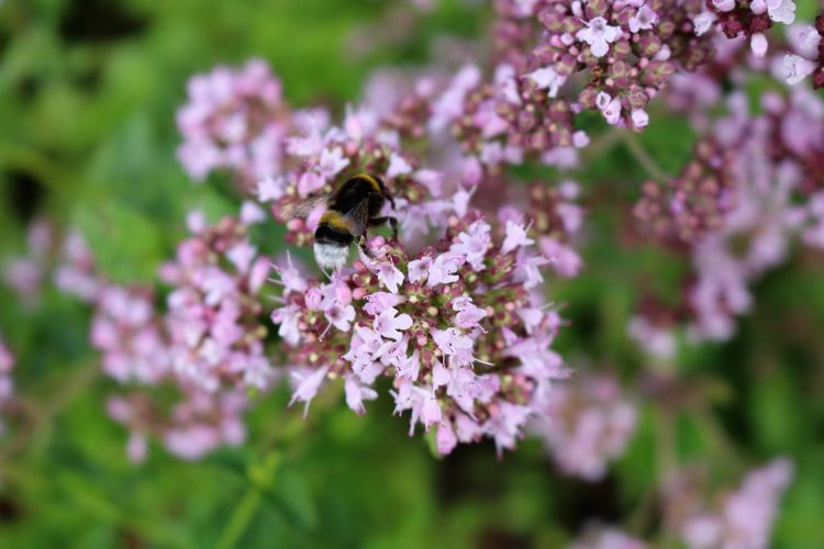 Animal Animals In The Wild Bee Bumblebee Flower Flowering Plant Insect No People One Animal Plant Purple