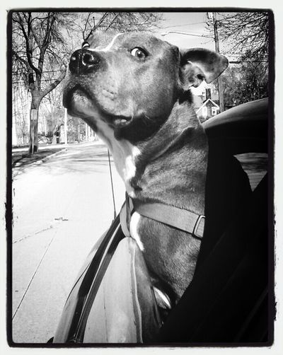 Hanging Out Black & White On The Road With BlaBlaCar Pitbull Love