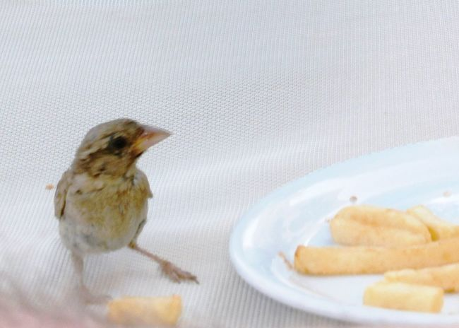 Sparrow Chips Plate Food Eating Bird Thief