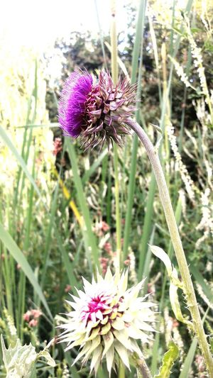 Flower Purple Fragility Nature Freshness Plant Flower Head Day Growth Thistle Petal No People Beauty In Nature Outdoors Wildflower Focus On Foreground Close-up Blooming