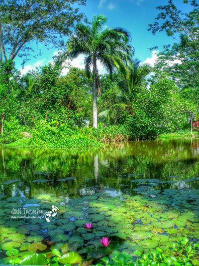From Coconut & Lotus island.. With love! Lotus Flower Pond Life Trees EyeEm Nature Lover The Traveler - 2015 EyeEm Awards In The Middle Of Nowhere Sikil Traveler