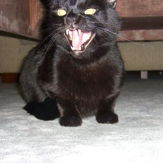 Angrycat Mycat BLackCat Sheeba Bize Geldiginde Karbon Tepkisi :-))